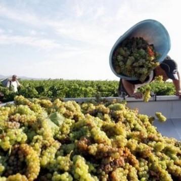 Un colchón de uvas !