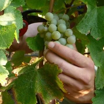Cortar las uvas